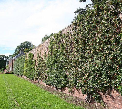 Anglická ovocná stena